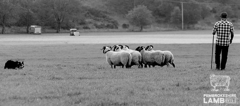 Pembrokeshire Lamb Stephen Lewis Farming.jpg
