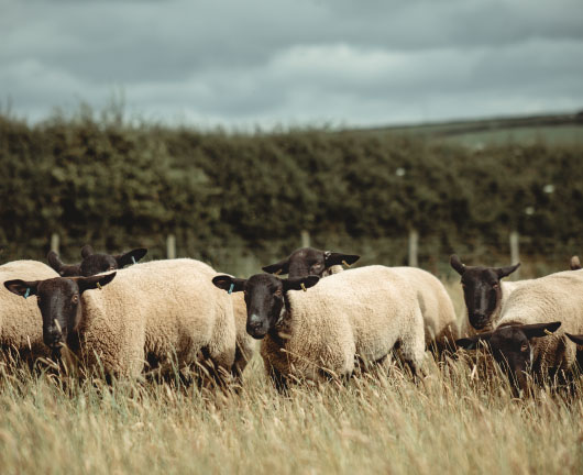 Pembrokeshire Lamb Sustainable Farming Meat Boxes UK