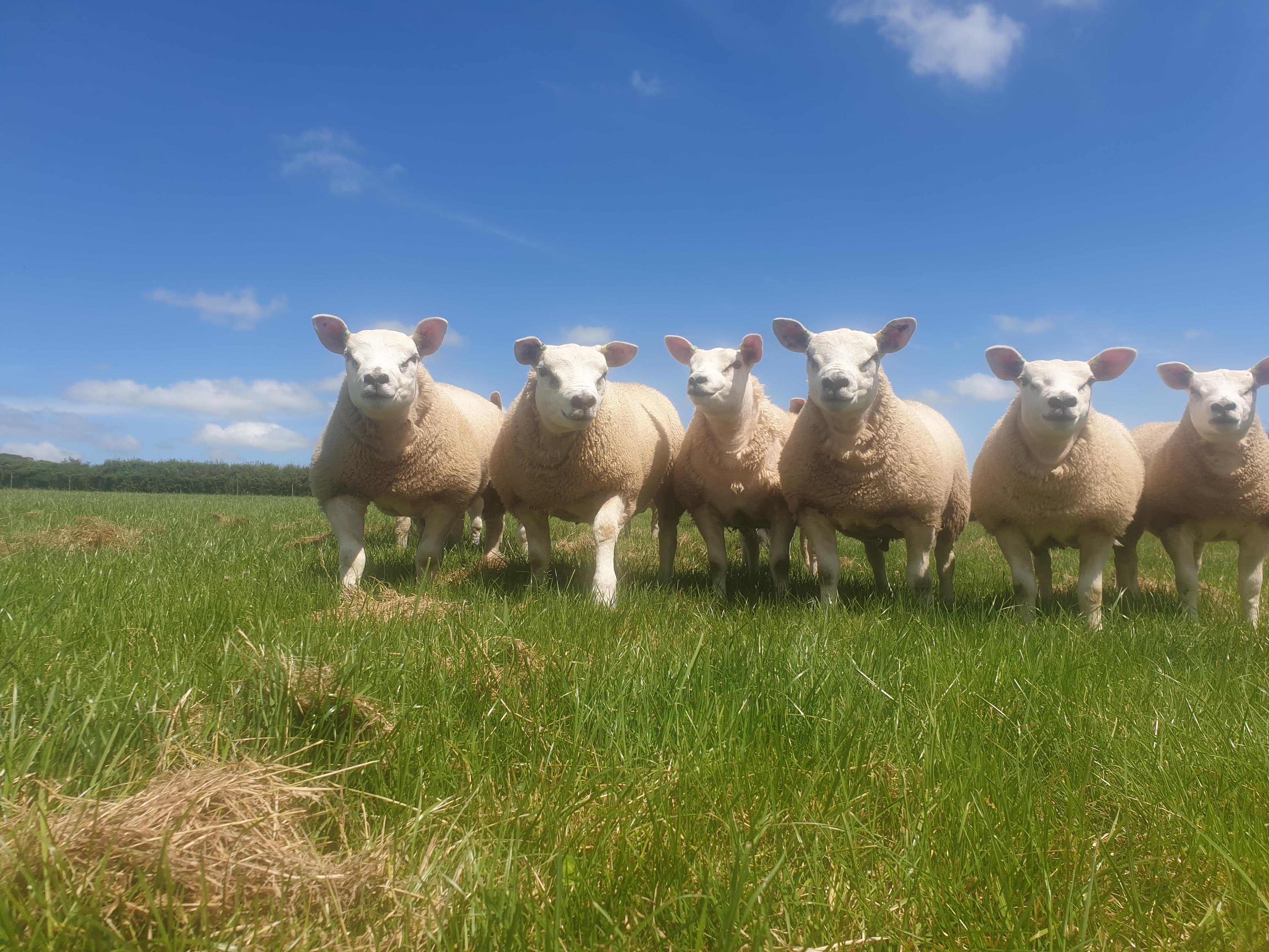 Pembrokeshire Lamb, Texels